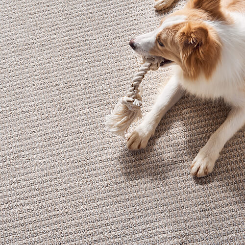 Australian Shepherd | Floor Boys
